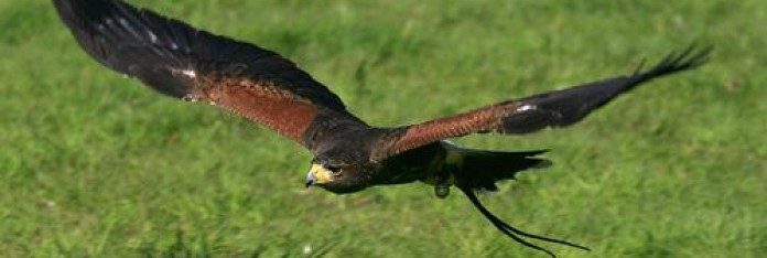 Harris Hawk at FalconryDays
