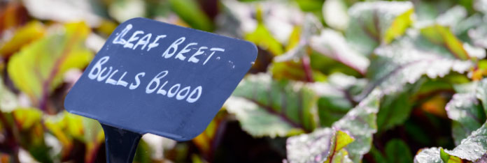 Leaf Beet in Battlesteads Garden