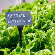 Little Gem Lettuce in Battlesteads Vegetable Garden