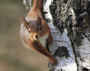 Red squirrel Morning