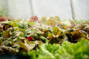 Lettuce being Watered